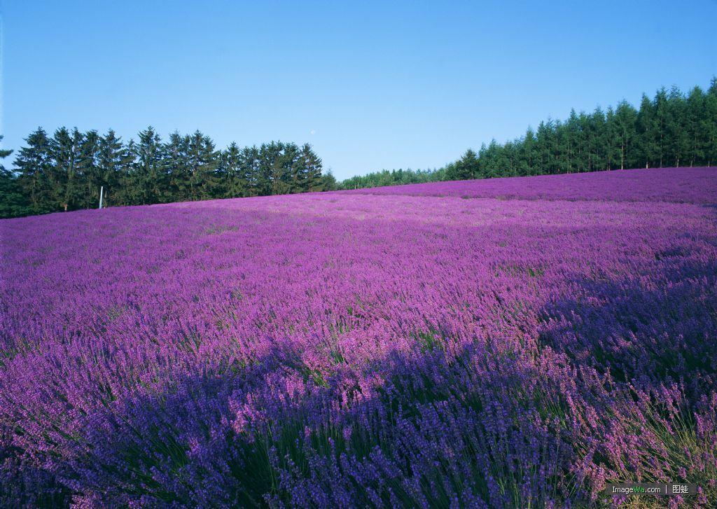 普罗旺斯是世界闻名的薰衣草故乡,旅游胜地.